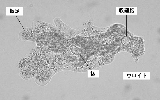 Digestion In Amoeba further White blood cell attacking bacteria gif additionally Zoologia4 together with 1 furthermore 10856939. on amoeba proteus