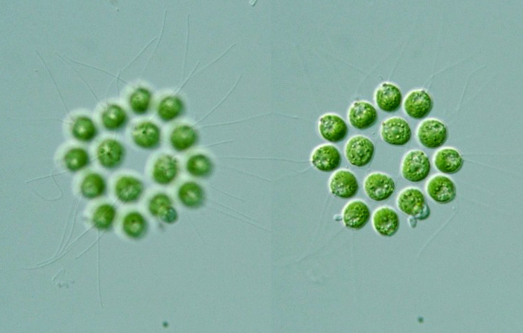 Gonium Microscope Slide Gonium Related Keyword...
