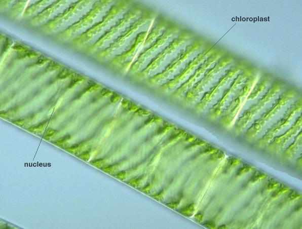 [ Images Of A Spirogyra Vegetative ] - Best Free Home ...