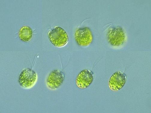 Prasinophyceae