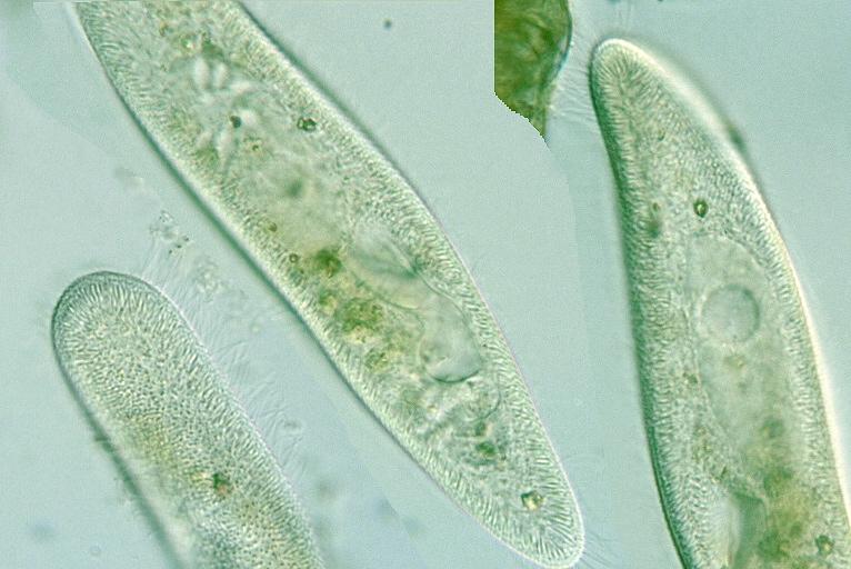 paramecium cell - photo #8