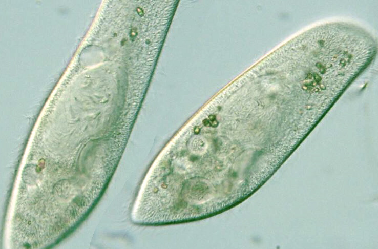 Paramecium Caudatum Under A Microscope Paramecium 400x