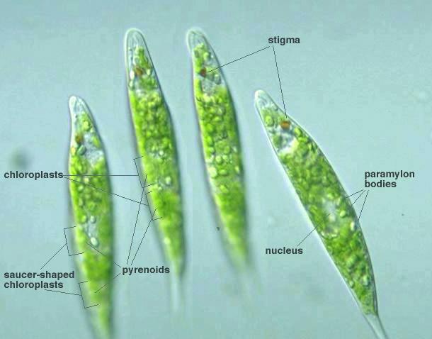Euglena Nucleus