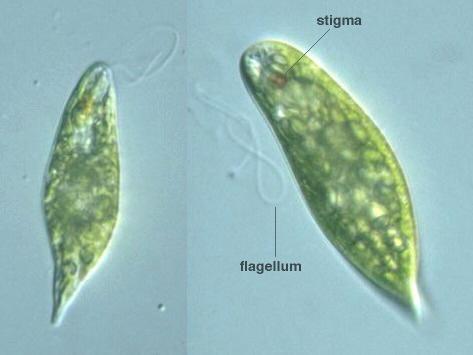 Euglena Prepared Slide Euglena proxima -- Dis...