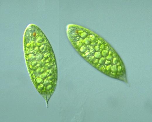 Euglena oblonga Bs) Lemmermann -- Discover Life