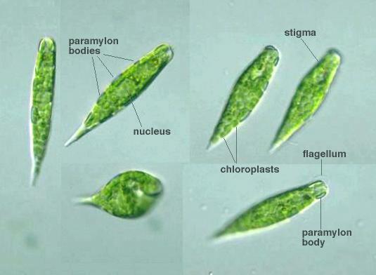 Biology Prepared Microscope Slides Amoeba 7930957 7930958 in addition Mikrofotos amoeben also Amoeba Proteus further Reino Protista 11164156 furthermore Biologie Amibe 4237. on amoeba proteus