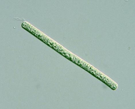 Prokaryote Cyanobacteria Oscillatoria