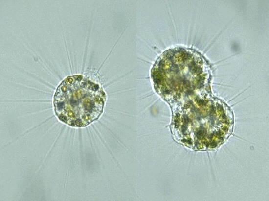 Protist Images  Actinophrys Sol