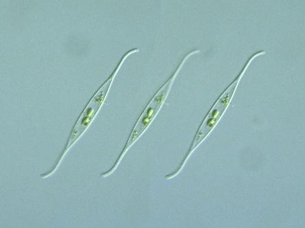 genus species nitzschi... Will Smith