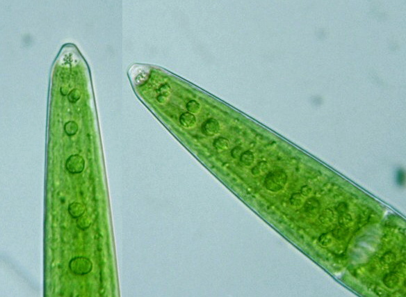 Closterium calosporum