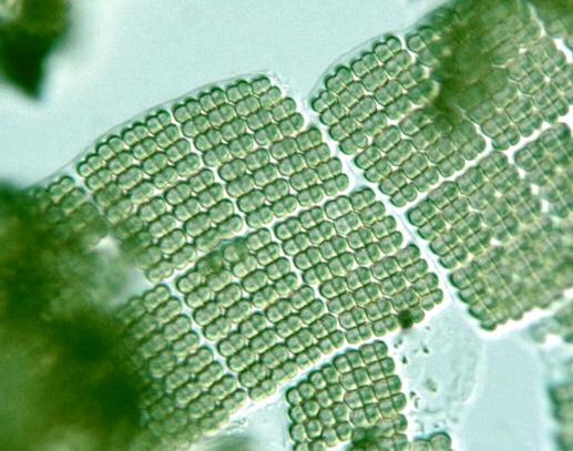 Prokaryote: Merismopedia convoluta