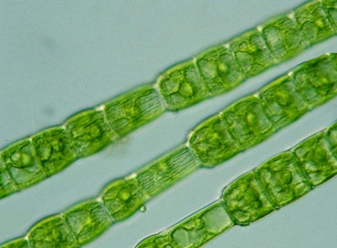 MONTESSORI BIOLOGY : Phylum Chlorophyta ~ Pinegreenwoods