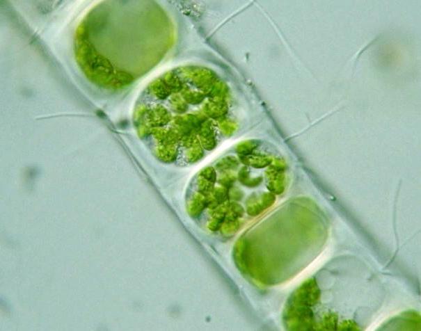 Ulothrix http   protist i hosei ac jp pdb images Chlorophyta Ulothrix    Ulothrix