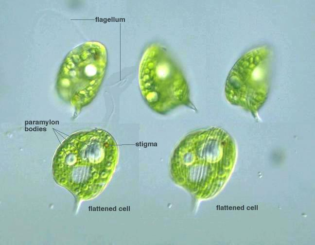 Kingdom Protista furthermore M6b3 moreover Cell Specialisation as well 3922638 together with Contractile vacuole euglena. on protist cell diagram labeled