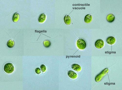 protist images chlamydomonas