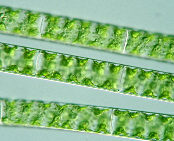 Related Keywords & Suggestions for spirogyra sp