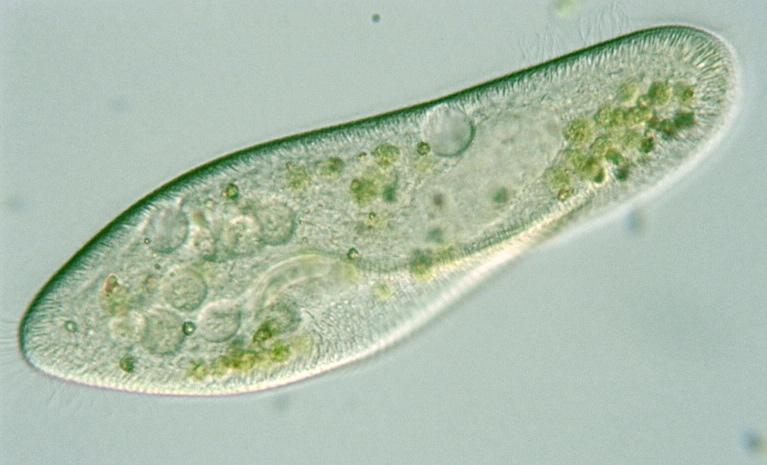 Protist Images: Paramecium caudatum