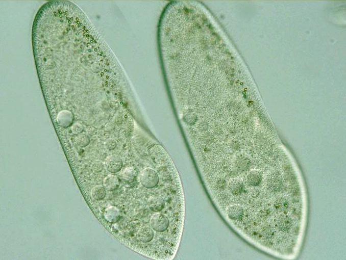paramecium cell - photo #5