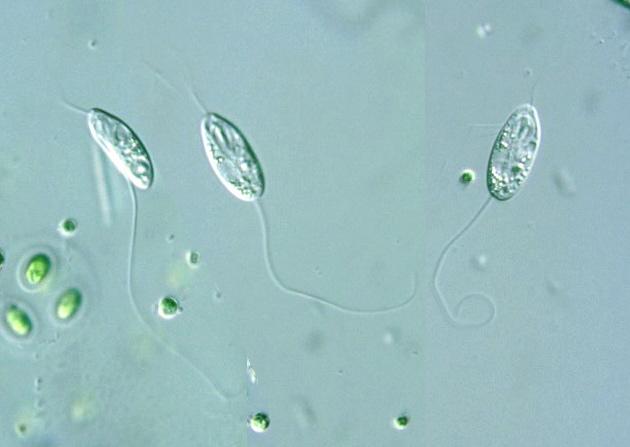 Image result for protist flagella