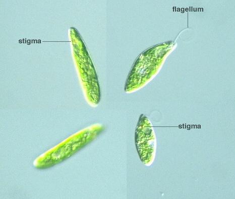 Protist Images: Euglena gracilis