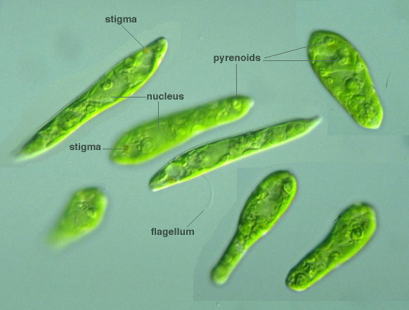 Protist Images  Euglena Gracilis