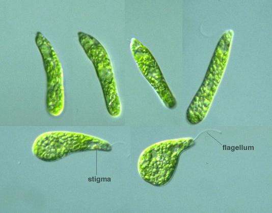 Protist images euglena gracilis euglena gracilis ccuart Gallery