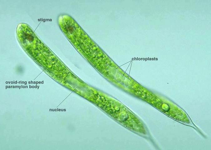 Protist Images: Euglena oxyuris