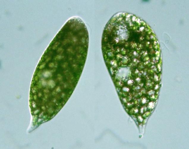 Protist Images: Euglena sanguinea