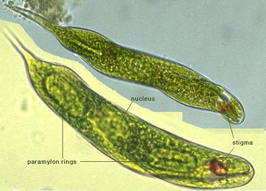 Euglena Prepared Slide Volvox Picture