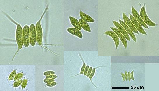 Un nouveau biocarburant issu d'algues
