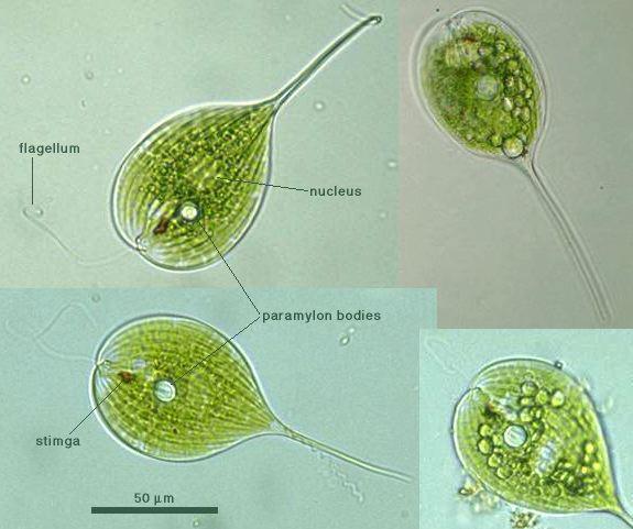 Mastigophora: Phytomastigophra...